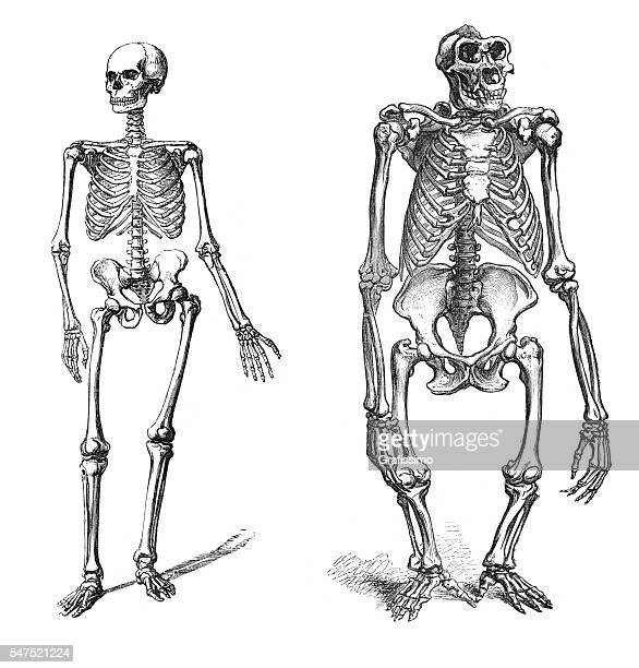 Comparison between human and gorilla skeleton engraving