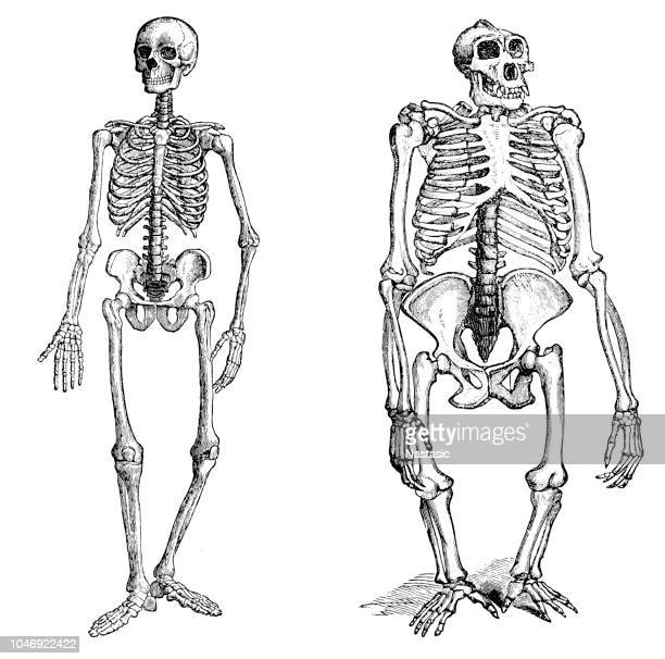 comparison between human and gorilla skeleton - skeleton stock illustrations, clip art, cartoons, & icons