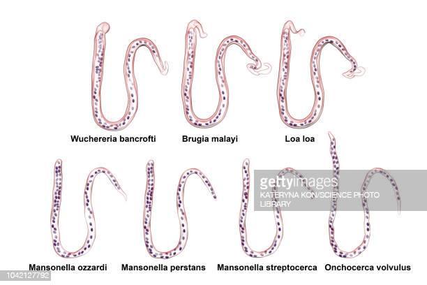 comparison of microfilariae morphology, illustration - elephantiasis stock-grafiken, -clipart, -cartoons und -symbole