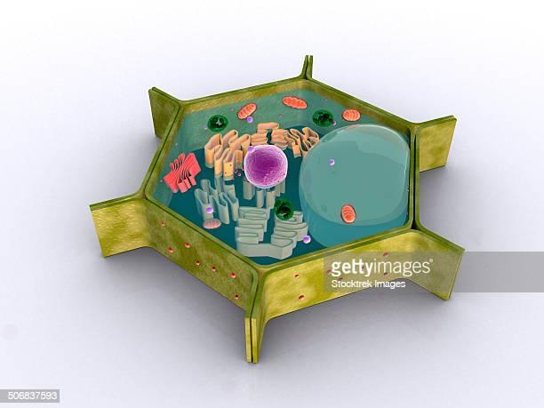 ilustraciones, imágenes clip art, dibujos animados e iconos de stock de conceptual image of a plant cell and its components. - mitocondria