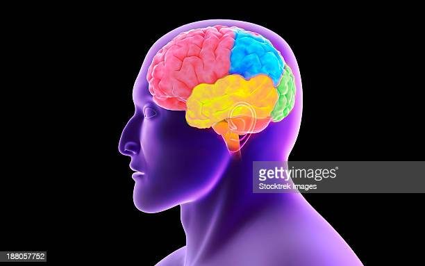 conceptual image of human brain. - diencephalon stock illustrations, clip art, cartoons, & icons