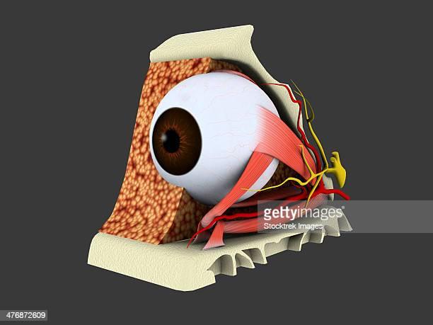 Conceptual image of human eye anatomy.