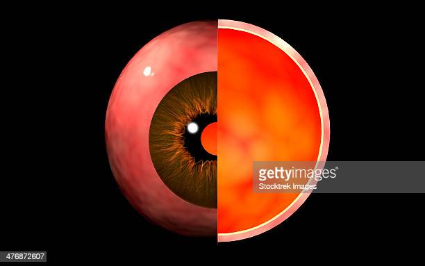 Conceptual image of human eye cross section.