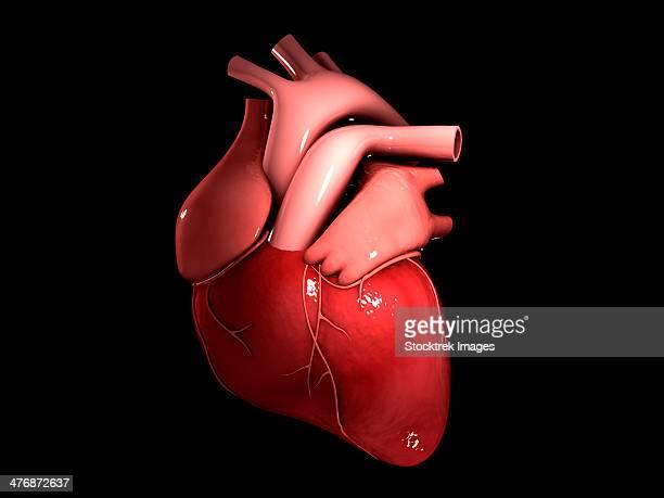 conceptual image of human heart. - myocardium stock illustrations, clip art, cartoons, & icons
