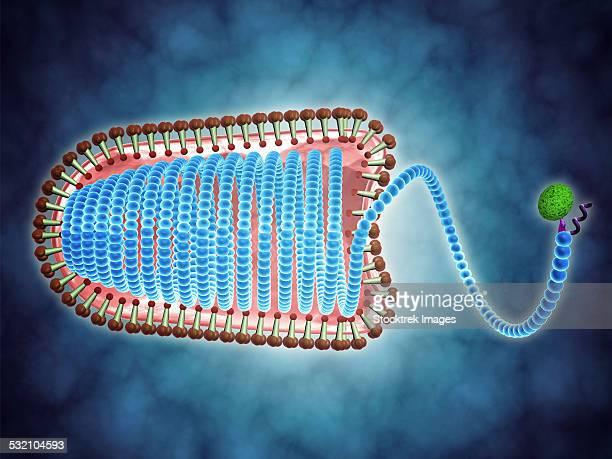 conceptual image of lyssavirus. - spike protein stock illustrations