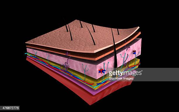 conceptual image of the layers of human skin. - stratum corneum stock illustrations