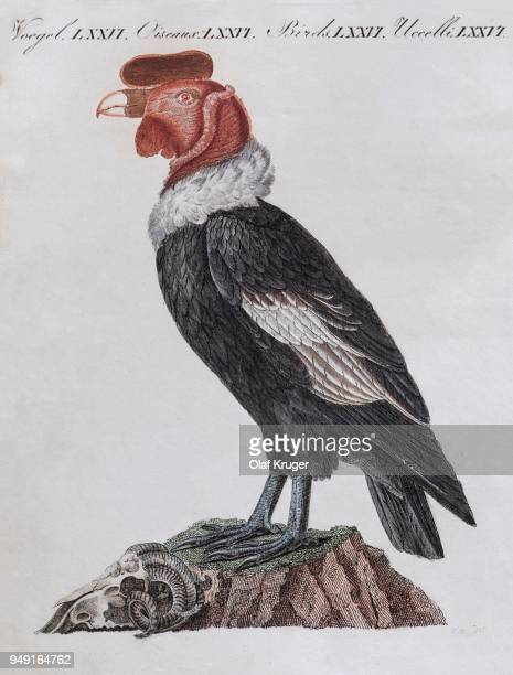 Condor (Cathartidae), hand-coloured copperplate engraving from Friedrich Justin Bertuch Picture book for children, Weimar, 1805