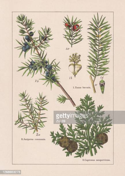 coniferes, chromolithograph, published in 1895 - juniper tree stock illustrations