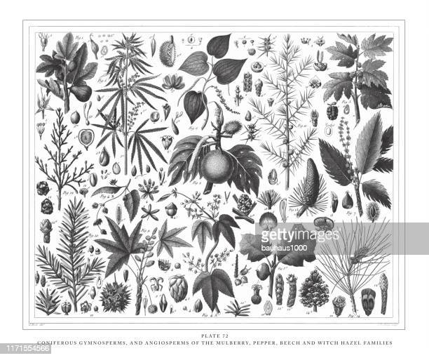 coniferous gymnosperms and angiosperms of the mulberry, pepper, beech and witch hazel families engraving antique illustration, published 1851 - juniper tree stock illustrations