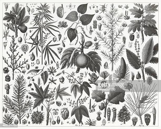 Conifers, Mulberry and Beech Families Engraving