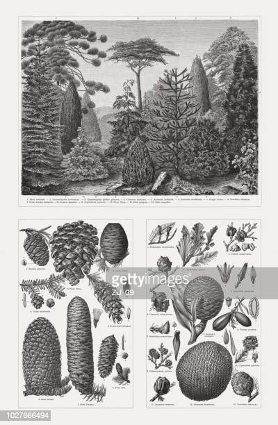 conifers (pinophyta), wood engravings, published in 1897 - bald cypress tree stock illustrations