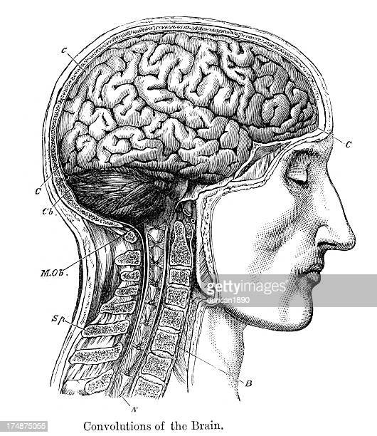 convolutions of the human brain - antique stock illustrations
