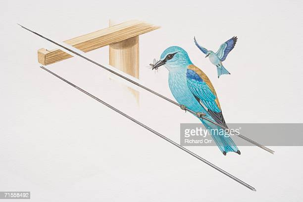 coracias garrulus, two european rollers, one in flight and the other perched on a wire holding a fly in its beak. - animal limb stock illustrations, clip art, cartoons, & icons