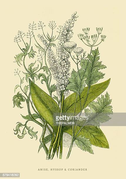 Coriander and Anise illustration 1851