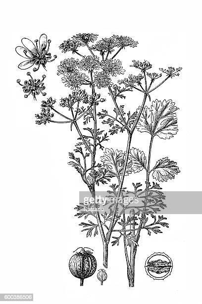 coriander; coriandrum sativum - aromatherapy stock illustrations, clip art, cartoons, & icons