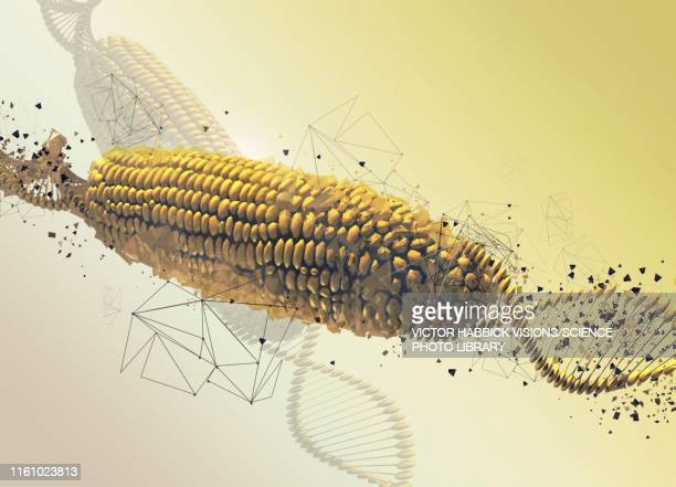 gm corn cob, illustration - digitally generated image stock illustrations
