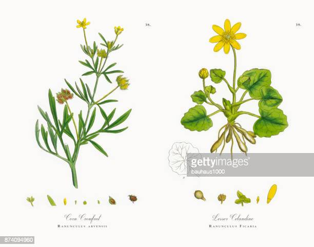 Maïs Crowfoot, Ranunculus arvensis, Illustration botanique victorienne, 1863