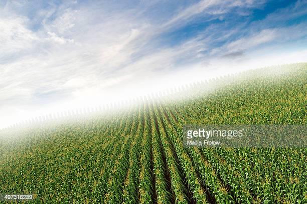corn field - fog stock illustrations