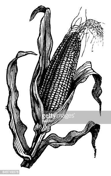 corn - corn stock illustrations, clip art, cartoons, & icons