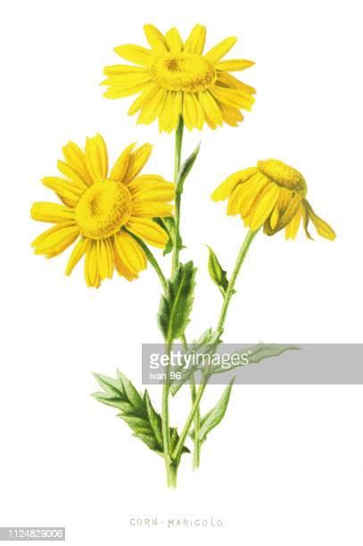 corn marigold, corn daisy - daisy stock illustrations