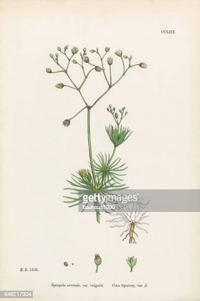 Corn Spurrey, Spergula arvensis, Victorian Botanical Illustration, 1863