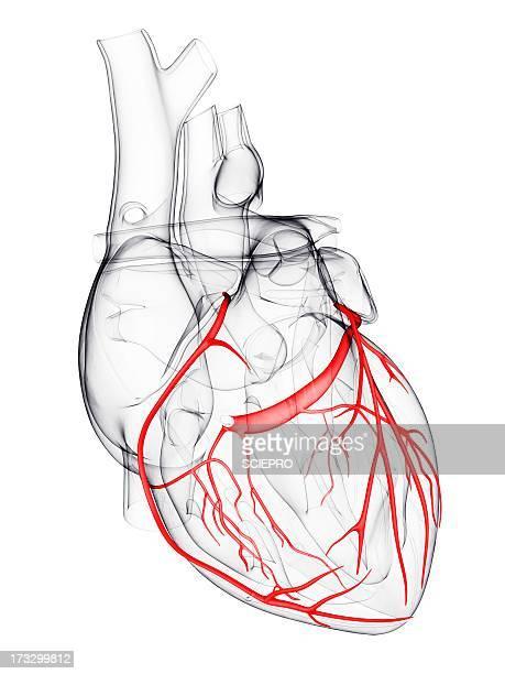 coronary arteries, artwork - translucent stock illustrations