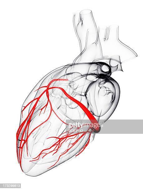 coronary arteries, artwork - artery stock illustrations, clip art, cartoons, & icons
