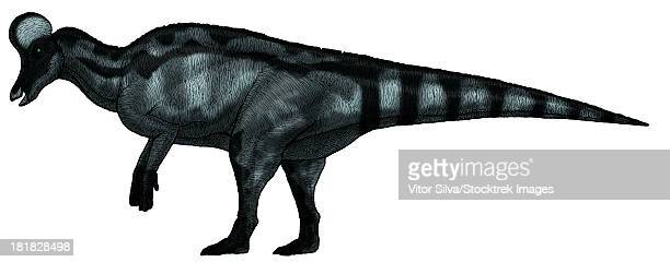 Corythosaurus, a large hadrosaurid dinosaur from the Upper Cretaceous Period.