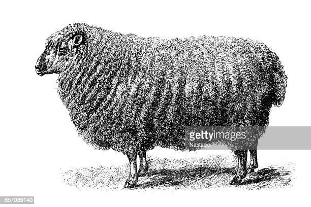 cotswold sheep - sheep stock illustrations, clip art, cartoons, & icons