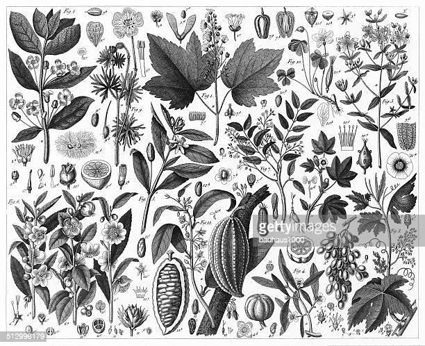 Cott, Tea, Grape and Cacao Plants