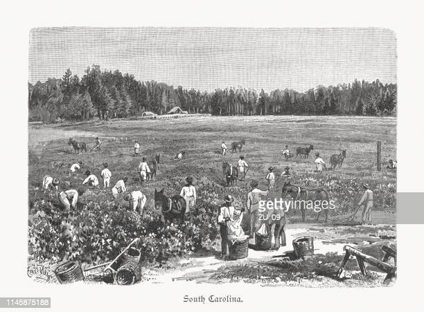 cotton harvest in south carolina, usa, wood engraving, published 1897 - cotton stock illustrations, clip art, cartoons, & icons