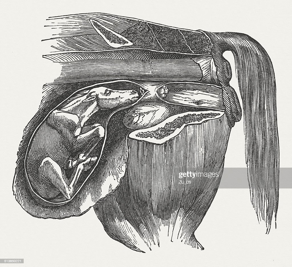 Cow fetus: Abnormal position, buckled front legs, published in 1883 : stock illustration