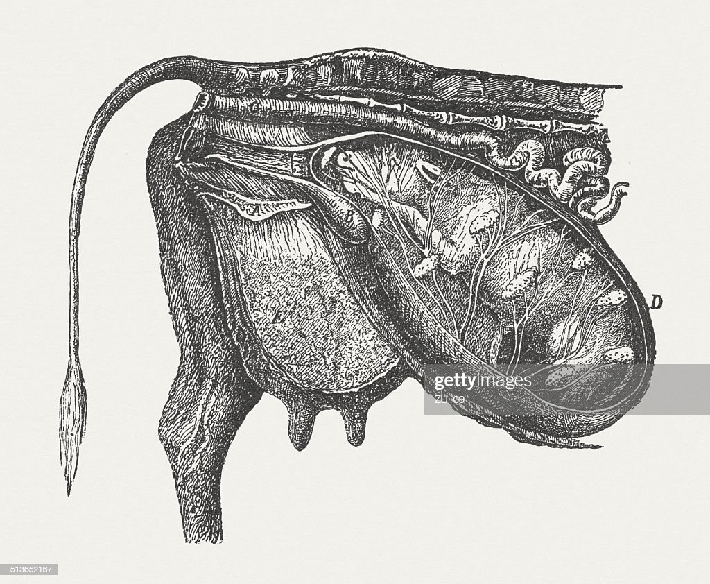 Cow fetus: normal position, wood engraving, published in 1883 : stock illustration