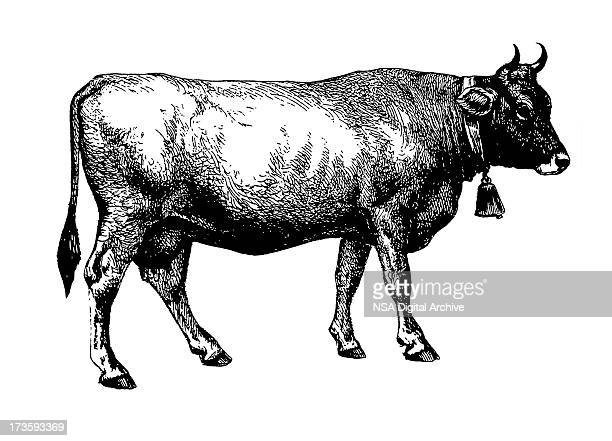 cow (isolated on white) - cow stock illustrations