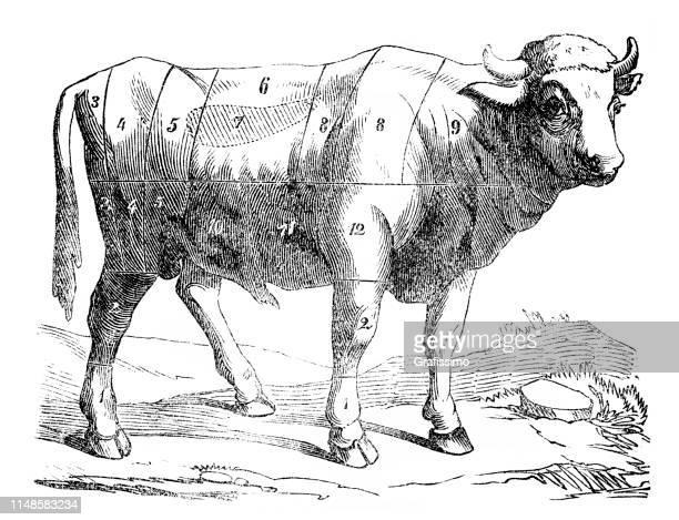 illustrations, cliparts, dessins animés et icônes de illustration de vache avec des lignes pour couper la viande au magasin de boucherie - boucherie