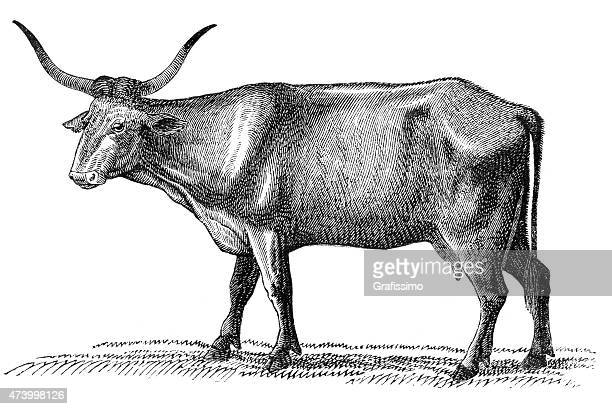 cow podilica isolated on white 1870 - historical document stock illustrations, clip art, cartoons, & icons