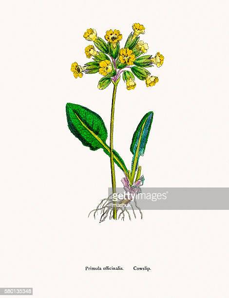 Cowslip Primrose flower