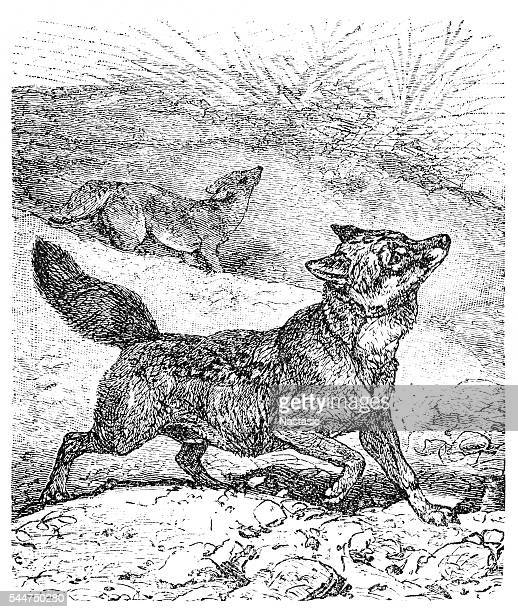 coyote or canis latrans or american jackal or prairie wolf - territorial animal stock illustrations, clip art, cartoons, & icons