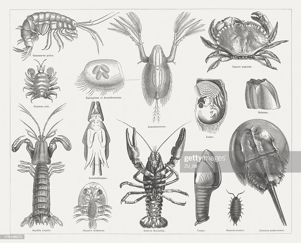 Crab, wood engravings, published in 1877 : stock illustration