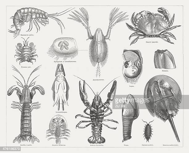 Crab, wood engravings, published in 1877