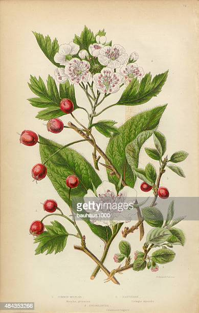 cranberry, medlar fruit, hawthorne berry and cotoneaster, victorian botanical illustration - flowering trees stock illustrations, clip art, cartoons, & icons