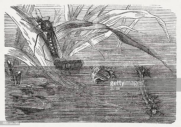 Tipulidae sp., publicada em 1868