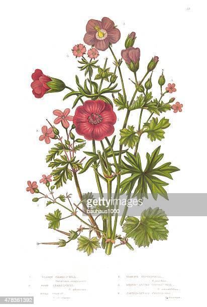 bildbanksillustrationer, clip art samt tecknat material och ikoner med cranesbill and geranium victorian botanical illustration - midsommarblomster