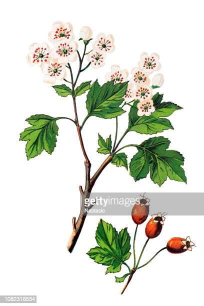 crataegus laevigata, known as the midland hawthorn, english hawthorn, woodland hawthorn or mayflower - hawthorn,_victoria stock illustrations