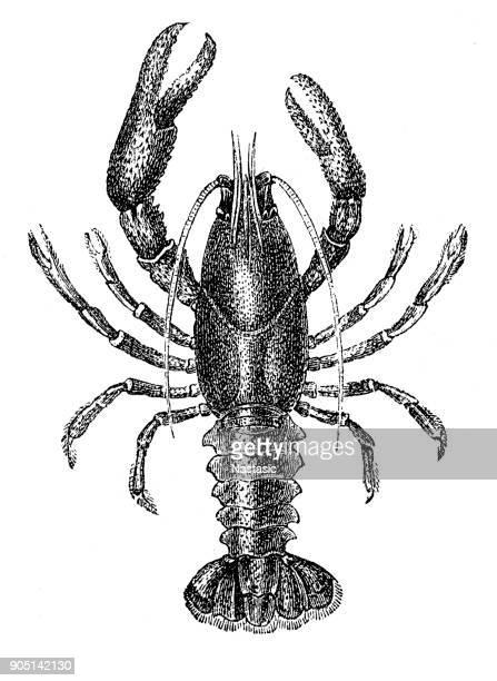 Crawfish ,Astacus astacus, the European crayfish, noble crayfish or broad-fingered crayfish