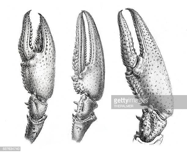 crayfish claws engraving 1870 - claw stock illustrations, clip art, cartoons, & icons