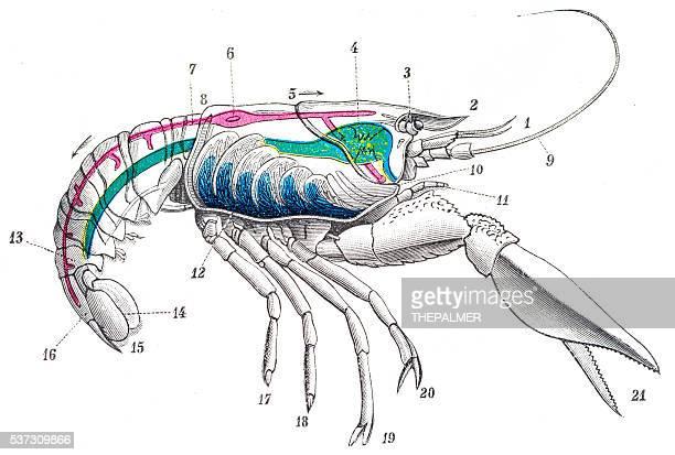 ilustrações, clipart, desenhos animados e ícones de lagostim estampa em 1894 - camarões