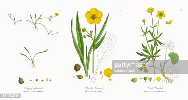 creeping spearwort, ranunculus reptans, victorian botanical illustration, 1863 - buttercup stock illustrations, clip art, cartoons, & icons