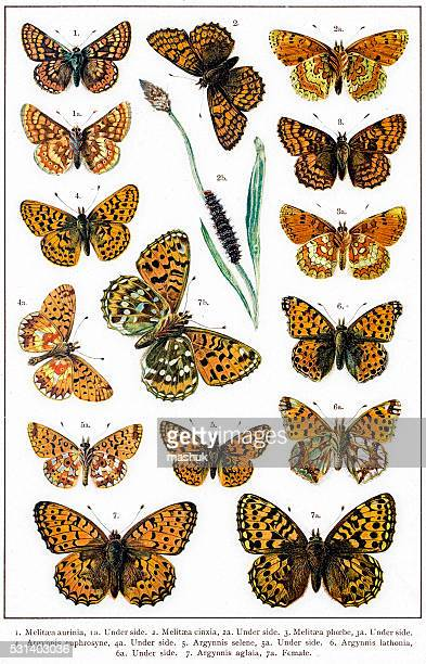 crescent and fritillaries butterflies of europe - zoology stock illustrations