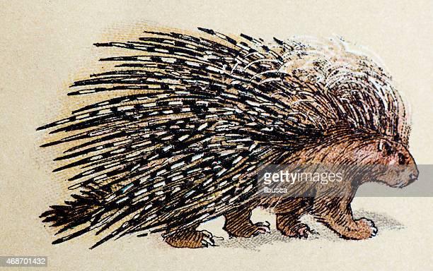 クレスヤマアラシ、哺乳類アニマルズアンティークイラストレーション - ヤマアラシ点のイラスト素材/クリップアート素材/マンガ素材/アイコン素材